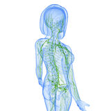 Female Lymphatic system. Female anatomy illustration of the Lymphatic system isoletted Stock Photos