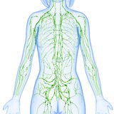 Female Lymphatic system of half body. Female anatomy illustration of the lymphatic system of male half body Royalty Free Stock Image