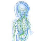 Female Lymphatic system of half body Royalty Free Stock Photography