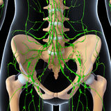 Female Lymphatic system x ray. Female  anatomy illustration of the Lymphatic system  x ray Stock Photography
