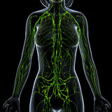 Female Lymphatic system x ray. Female anatomy illustration of the Lymphatic system & x ray Royalty Free Stock Photo