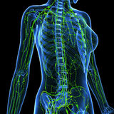 Female Lymphatic system x ray. Female anatomy illustration of the Lymphatic system & x ray Stock Photography