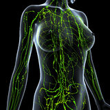 Female Lymphatic system x ray. Female  anatomy illustration of the Lymphatic system  x ray Stock Images