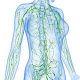 Female Lymphatic system x ray. Female  anatomy illustration of the Lymphatic system  x ray with isolated Stock Image