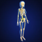 Female Lymphatic system with skeleton. Female anatomy illustration of the Lymphatic system with skeleton Royalty Free Stock Image