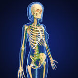 Female Lymphatic system with skeleton Royalty Free Stock Photo