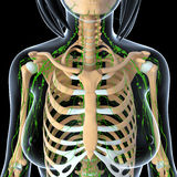 Female Lymphatic system with skeleton x ray. Female  anatomy illustration of the Lymphatic system  x ray with skeleton Royalty Free Stock Image