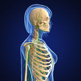 Female Lymphatic system with skeleton. Female side view anatomy 3d illustration of the Lymphatic system with skeleton Stock Photo