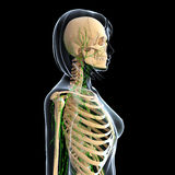 Female Lymphatic system with skeleton. Female side view anatomy 3d illustration of the Lymphatic system with skeleton Royalty Free Stock Image