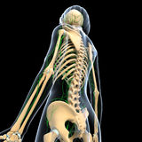 Female Lymphatic system with skeleton Stock Image