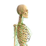 Female Lymphatic system with skeleton. Female side view anatomy 3d illustration of the Lymphatic system with skeleton Stock Photography