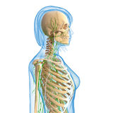 Female Lymphatic system with skeleton. Female side view anatomy 3d illustration of the Lymphatic system with skeleton Stock Images