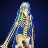 Female Lymphatic system with skeleton Stock Photos
