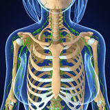 Female Lymphatic system x ray Stock Photography