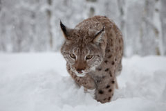 Female Lynx on the hunt. A female Lynx attacking, northern Norway Royalty Free Stock Photo