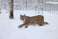 Female Lynx runs. A female Lynx running, northern Norway Stock Images