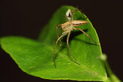 Female lynx spider on a defense stance on a leaf. Female lynx spider on a defense stance on a lime leaf Stock Photo
