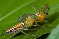 Female Lynx spider eating male lynx spider. Macro shot of a female lynx spider eating male lynx spider Royalty Free Stock Photos