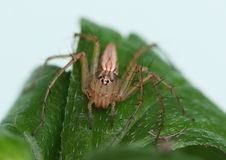 Female lynx spider on a leaf. Frontal view of a female lynx spider on a leaf Stock Images