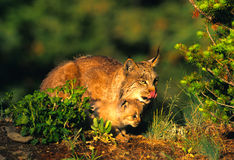 Female Lynx Teching Kitten to Hunt. A female lynx showing her kitten how to crouch in wait when hunting for food Stock Photography