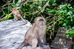 Female Macaca fascicularis sitting on a rock. Monkey beach, Thailand Royalty Free Stock Photo