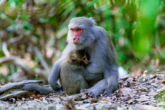 Female macaque feeding her baby. In the jungle Stock Images