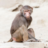Female macaque monkey stock photography