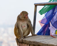 A female macaque on top of wall Stock Photo