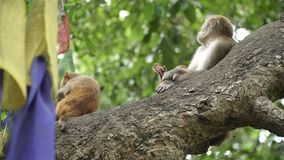 Family of monkeys on a tree. A female macaque with two cubs on a tree. Many monkeys live in the city of Kathmandu. Many monkeys live near the temple of stock video
