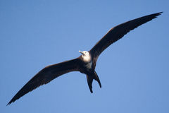 A female magnificent frigate bird flying overhead Stock Photos