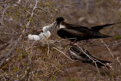 A female Magnificent Frigatebird feeds her chick stock photo