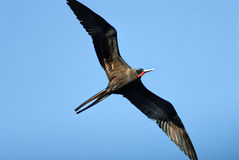 A female magnificent frigatebird Royalty Free Stock Photos