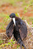 Female Magnificent Frigatebird on North Seymour Island, Galapago Stock Images