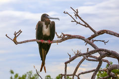 Female Magnificent Frigatebird sitting on a tree on North Seymou Stock Images