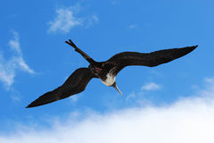 Female magnificent frigatebird soars overhead Royalty Free Stock Images