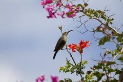 Female Malachite Sunbird Stock Images