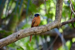 Female Malagasy paradise flycatcher, Madagascar Royalty Free Stock Photography