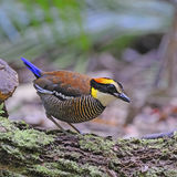 Female Malayan Banded Pitta Stock Photos