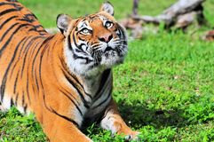 Female Malayan Tiger Stock Photo