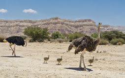 Female and male of African ostrich with young chic Stock Images