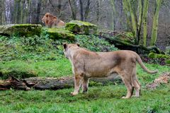 Female and male of asiatic lion. Asiatic lion ( Panthera leo persica ) female and male behind photo Stock Photography