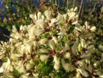 Female and Male Baccharis Halimifolia Plants in the Sun near a Pond in the Fall. Stock Photos