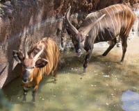 Bongos Wading. Female and Male Bongo antelope wading in pond royalty free stock photo