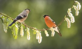 Female and male bullfinch on a willow branch. Female and male bullfinch on an willow branch Stock Photo