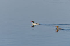 Female and Male Common Merganser Stock Photography