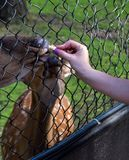 The female and male deer eat. From the people`s hands the bread through the steel grid of the cage in the Novosibirsk zoo stock images