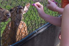 The female and male deer eat. From the people`s hands the bread through the steel grid of the cage in the Novosibirsk zoo royalty free stock images