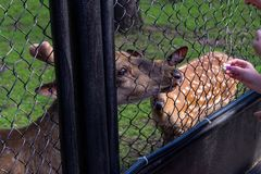 The female and male deer eat. From the people`s hands the bread through the steel grid of the cage in the Novosibirsk zoo stock photo