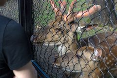 The female and male deer eat. From the people`s hands the bread through the steel grid of the cage in the Novosibirsk zoo royalty free stock photography