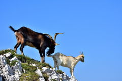 White female and brown domestic goats royalty free stock image